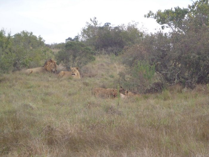 Mom, Dad & 3 little lions